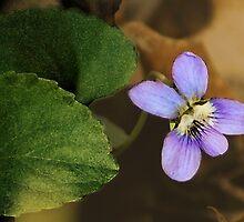 Wild Violet by cchandler