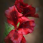 Pelargonium by Elaine Teague