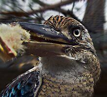 Kookaburra  by Julia Harwood