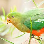 Australian King Parrot at Sheepyard Flat #3 by Aden Brown