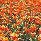 Orange Tulips from Holland by BillKret