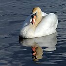 Serene Mute Swan by M.S. Photography/Art