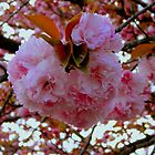 Cherry Blossoms by ctheworld