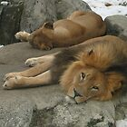 Zoo Lions by Rod J Wood