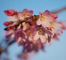 Cherry blossom by cmgable