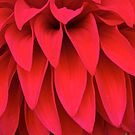 Full-Frontal Dahlia by John Butler
