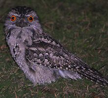 Tawny Frogmouth  by KeepsakesPhotography Michael Rowley