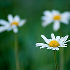 Daisies by Owen Franssen