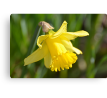 Simple Yellow Daffodil... Canvas Print