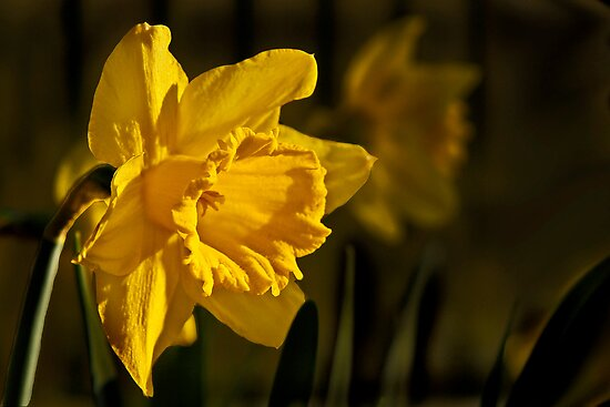 Daffodil by cclaude