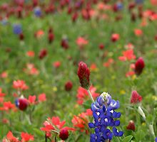 Bluebonnets, Red Clover And Indian Paintbrush by Carolyn  Fletcher