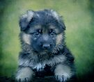 Long Coated German Shepherd Puppy by Sandy Keeton