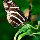 Zebra Longwing  by Saija  Lehtonen