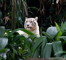 Asian White Tiger by Jessica Annalee