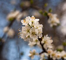 Blackthorn's spring blossom by David Isaacson
