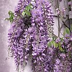 Wisteria iPhone Case by Jessica Jenney