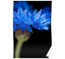 Sunkissed Cornflower Poster