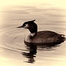 Great Crested Grebe by Dean Messenger