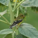 goldfinch by ffuller