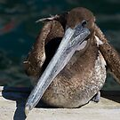 Brown Pelican by zzsuzsa