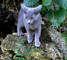 Gray Kitten Exploring a Big World by Sandra Russell