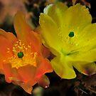 Cactus flowers by KoosG