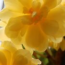 begonias viewed from below  by gaylene