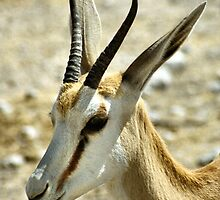 Springbok Portrait by Carole-Anne