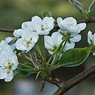 Pear Blossoms by Brenda  Meeks