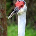 Sandhill Crane (iPhone Case) by AuntDot