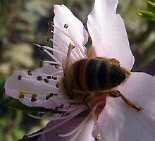 Pollination Apricot Blossom by LindyLouMac