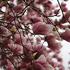 Magnolia in Full Bloom by Jane McDougall