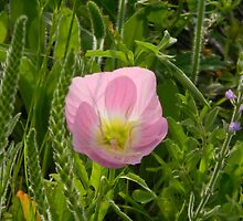 Evening Primrose Unfurling by Navigator