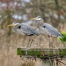 Heron Pair by Monte Morton