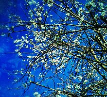 Spring blossoms, Digital Photography by Emily King