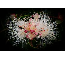 Lilly Pilly Fantasy Photographic Print