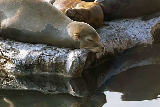 Sea Lions by Vac1