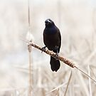 Common Grackle on a cattail reed by michelsoucy