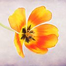 A Spring Tulip by Darren Fisher