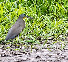 Bare-throated Tiger-Heron by michelsoucy