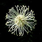 Grevillea Moonlight by Trish Meyer