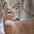 Whitetail doe by michelsoucy