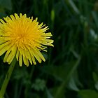 Dandelion by michelsoucy