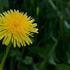 Dandelion by michelsoucy