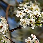 Flowering Pear Tree  by Jerry Philpot