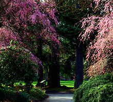 Cherry blossoms in spring -Van Dusen Botanical gardens by Kathryn  Young