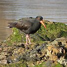 Sooty Oystercatcher - in search of food. by Trish Meyer