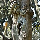 Oak tree with a hole in it by Brenda  Meeks