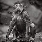 Snow Monkey Shake Down by Norman Repacholi