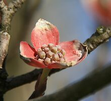 Birth Of A Pink Dogwood by Geno Rugh